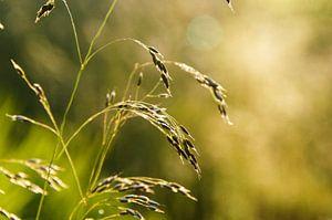 Grashelm in het zonlicht