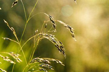 Grashelm in het zonlicht van Sandra van Kampen