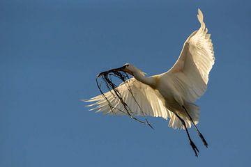 lepelaar onderweg naar het nest van natasja juist