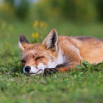 Schlafender Fuchs Platz