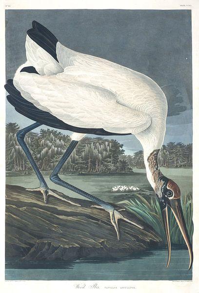 Kaalkopooievaar van Birds of America