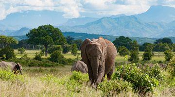 Olifanten op savanne van