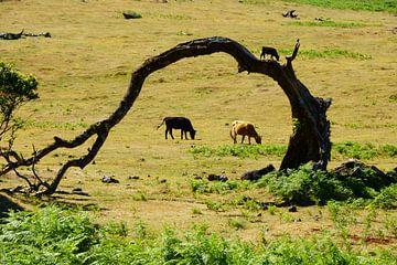 Kromme boom en koeien sur Michel van Kooten