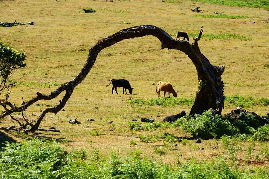 Kromme boom en koeien