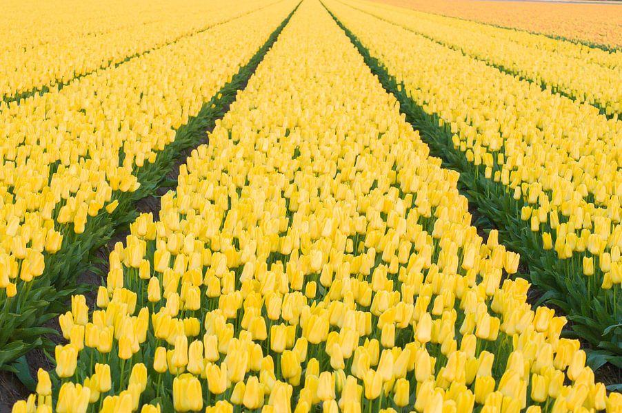 Oneindig veel gele tulpen van Stefanie de Boer