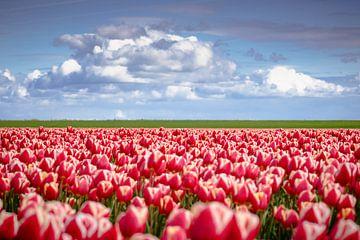 Rode tulpen in Hollands landschap van Fotografiecor .nl