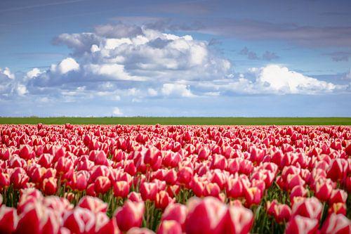 Rode tulpen in Hollands landschap