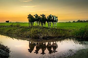 Koeien van piet douma