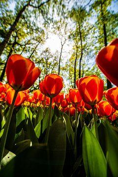 Tulipes rouges sur Brian Morgan