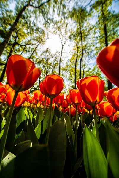 Rode Tulpen van Brian Morgan