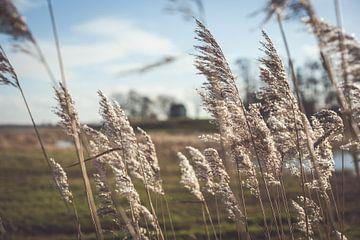 Schwankende Reedfedern im Sonnenlicht von Fotografiecor .nl