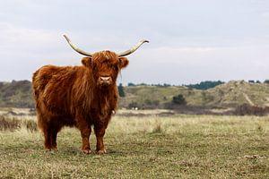 Highland Cattle in the Kennemerduinen (the Netherlands) von Remco Bosshard