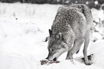 wolf auf weißem schnee mit einem stück fleisch. das tier ist vorsichtig, es schneit. Verfärbt, schwa von Michael Semenov