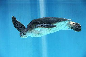 Zee schildpad onderwater van Aruba Paradise Photos