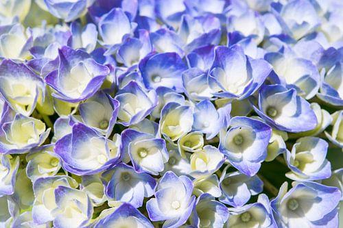 schermbloem van de hortensia, blauw