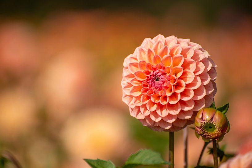 Dahlia duo in knop en volle bloei van Everyday photos by Renske