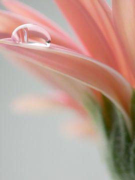 Waterdruppels op roze gerberabloem van Katrin May