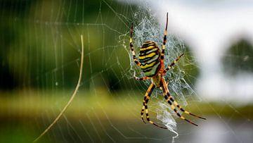 Wasp spider von Victor Droogh