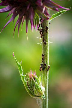 Ameisen am Blütenstiel von Esther's Photos