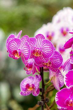 orchidee 2 van John van Weenen