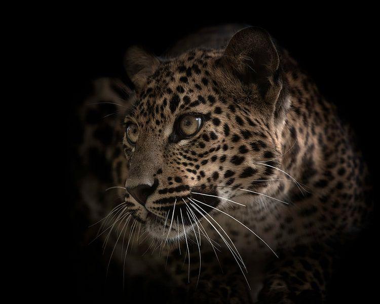 Dieser Panther (Leopard) wartet auf den richtigen Moment von Patrick van Bakkum