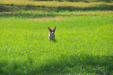 Coyote Wildlife van Paul van Baardwijk