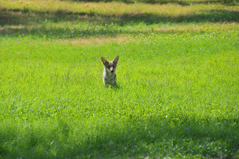 Coyote Wildlife sur Paul van Baardwijk