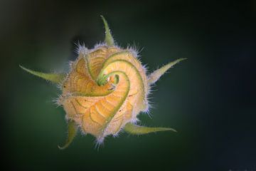 Pompoen bloem in de knop van Douwe Bergsma