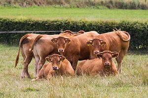 Starende  Limousin koeien