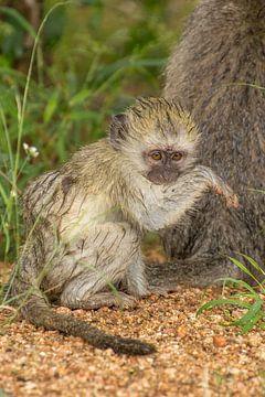 Baby-Blauer Affe, Kruger Park, Südafrika von Marijke Arends-Meiring