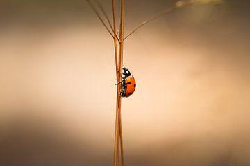 Lieveheersbeestje van Anthony Damen