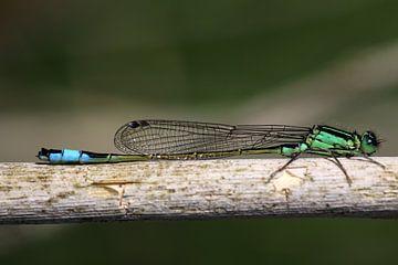 Groene lantaarn libelle  van Maurice de vries