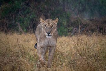 leeuw in botswana van Ed Dorrestein