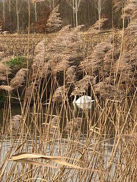 Zwaan op het water van tania mol