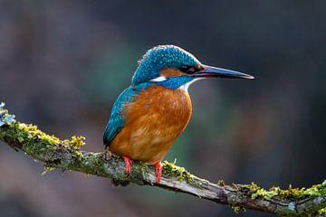 IJsvogel wachtend op zijn eten van Rene Theodorie