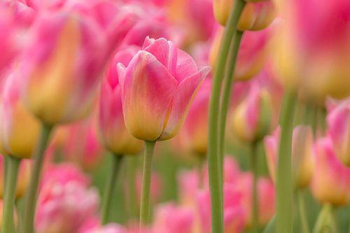 Tulp  -roze van