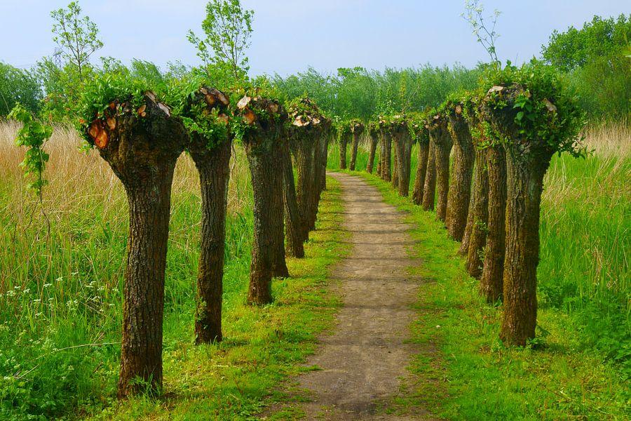 Knotwilgen in de Biesbosch in Zuid-Holland