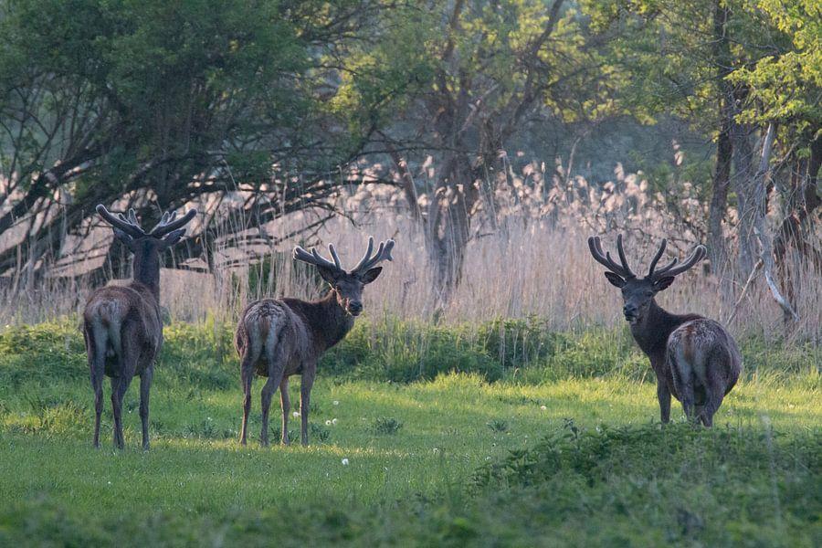 Edelherten in de bossen van Randy van Domselaar