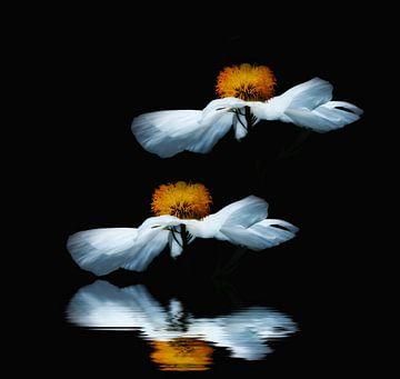 Anemoon, Anemone sylvestris von Renate Knapp