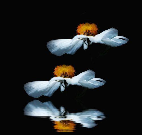 Anemoon, Anemone sylvestris van
