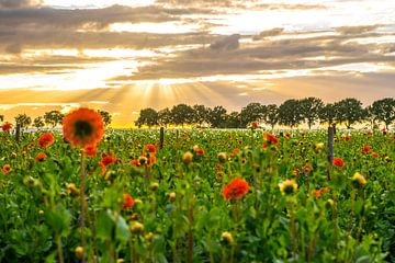 zonsondergang bloemenveld van Patricia van Loock