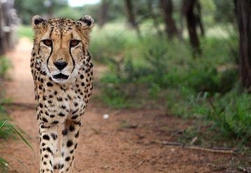 Jachtluipaard/Cheetah von Sybrand Treffers