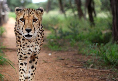 Jachtluipaard/Cheetah van Sybrand Treffers