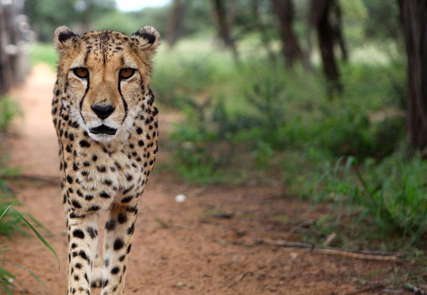 Jachtluipaard/Cheetah