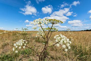 Wiesenblumen Groß Zicker, Halbinsel Mönchgut von GH Foto & Artdesign