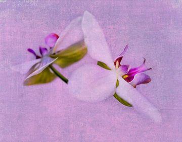 Orchideeën roze van Anouschka Hendriks
