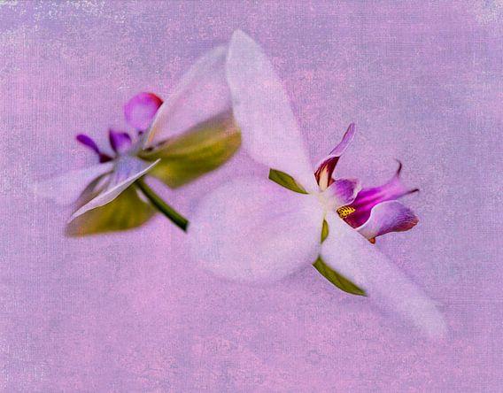 Orchideeën roze