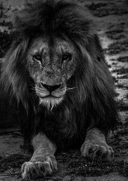 Panthera leo von Kirsten Kommers