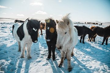Isländische Pferde in Winterlandschaft von Abby's Voyage