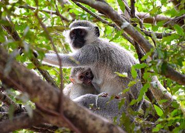 Moeder en kind, aapjes in Kruger NP, Zuid Afrika van Rebecca Dingemanse